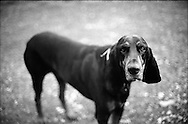 Black-and-tan hound, as she should be.