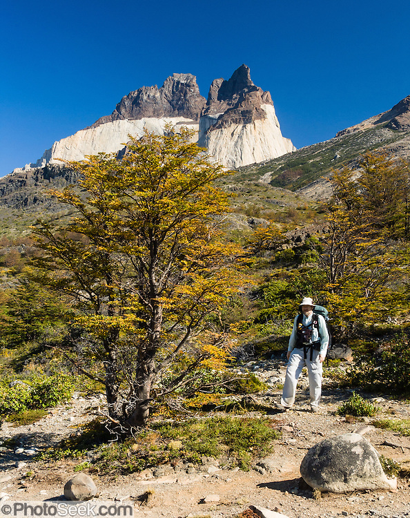 In late summer, a forest of Southern Beech (Lenga or Nothofagus) turns gold in Torres del Paine National Park, Chile. A trekker pauses on the popular W Route. The foot of South America is known as Patagonia, a name derived from coastal giants, Patagão or Patagoni, who were reported by Magellan's 1520s voyage circumnavigating the world and were actually Tehuelche native people who averaged 25 cm (or 10 inches) taller than the Spaniards.