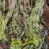 Detail of lichen and moss on bark of California Coastal Redwood Tree (Sequoia Sempervirens), Humboldt Redwoods State Park, Humboldt County, California