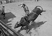 Bullrider does the winning ride at the Clallam County Fair rodeo.