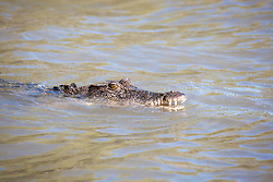 A saltwater crocodile surfaces in the Prince Regent River on the Kimberley coast.