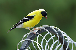 Birds:  An American goldfinch (summer colors) perches on a bird feeder filled with sunflower seeds