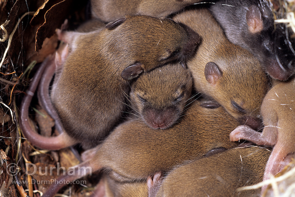 European house mice (Mus musculus) young in nest.