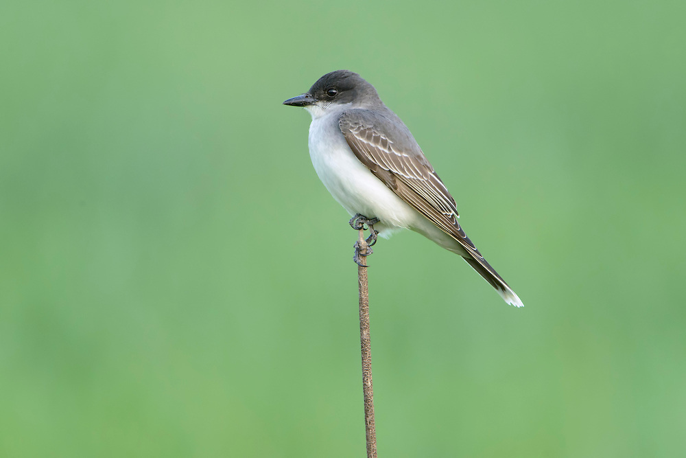 Eastern Kingbird perched on a reed, Western Montana
