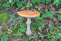 A mature orange form of perhaps the world's most famous mushroom - the fly agaric -  growing halfway up the north face of Mount Rainier on one of the last days of summer. Normally bright red, this highly toxic mushroom can make anyone ingesting it extremely sick (and possibly fatally). This psychoactive fungus has had such an impact on most major cultures in the history of humans that it is mentioned in just about every culture's folklore and religious texts where it is found in the northern hemisphere.