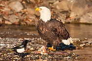 Bald Eagle (Haliaeetus leucocephalus) feasting on Chum Salmon on riverbed as Black-Billed Magpie looks on in Chilkat Bald Eagle Preserve near Haines in Southeast Alaska. Winter. Afternoon.