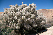 Close up of the White flowers of the white broom Retama raetam Photographed in Israel in February