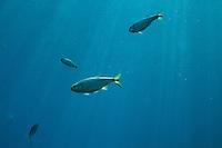 MEXICAN TETRA FISH