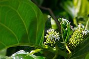 Noni plant. Molokai, Hawaii