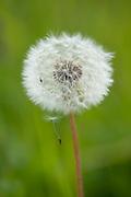Dandelion Seed Head, Taraxacum officinale, Kuhmo, Finland, Lentiira, Vartius near Russian Border,