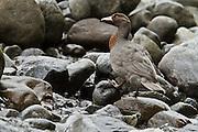 Blue Duck, Hollyford River, Fiordland, New Zealand