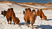 Bactrian camels search for grazing during winter, Khongur sand dunes, Sevrei mountains, Gobi desert, Mongolia