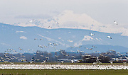 Mount Baker rises above migratory Snow Geese in the Skagit River Valley, Washington, USA. Snow Geese are typically seen in large flocks up to 55,000 in winter in western Washington. Most gather in the Skagit River Delta (Skagit County) from mid-October to early May.