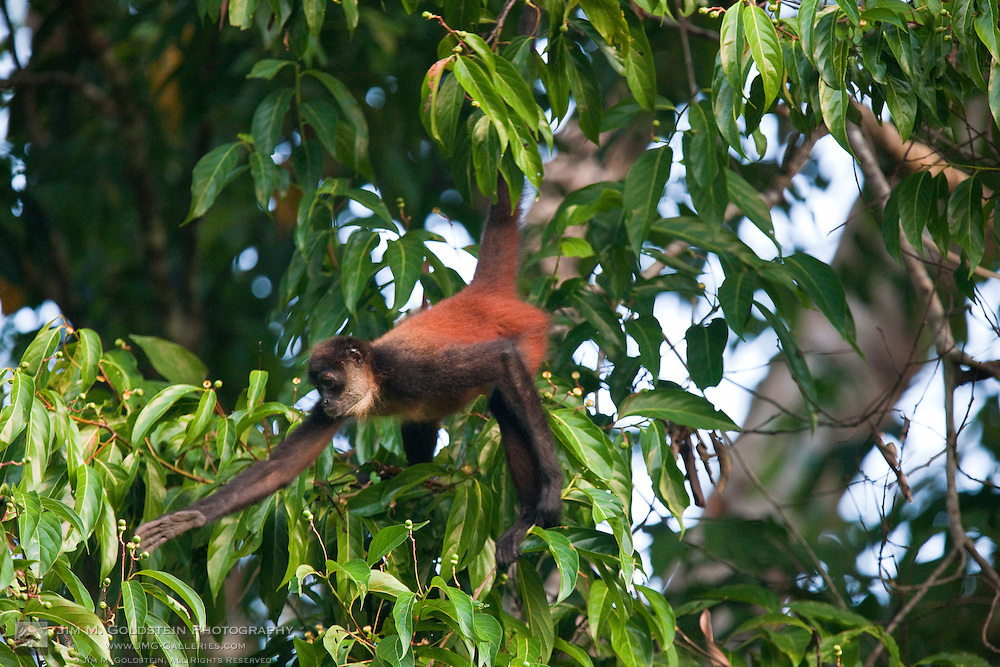 A Geoffroy's Spider Monkey (Ateles geoffroyi) reaches for food in a tree top of the rainforest of Corcovado National Park, Costa Rica