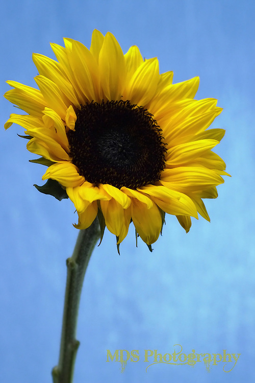 Yellow Sunflower (vertical/portrait orientation)