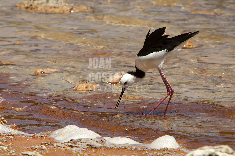 12/February/2013 Western Australia. Rottnest Island.Himantopus himantopus at Government House Lake in Rottnest Island..© JOAN COSTA