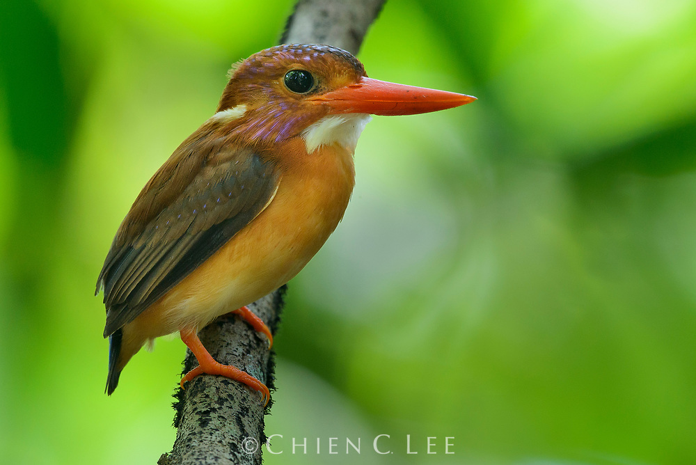 At only 12cm in length, the Sulawesi Dwarf Kingfisher (Ceyx fallax) is one of the smallest kingfishers. It is a bird of the forest, feeding on small lizards and insects, and is endemic to Sulawesi and a few offshore islands, although scarce and patchily distributed.