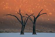 Abgestorbene B&auml;ume im Dead Vlei der Namib W&uuml;ste, Sesriem, Namibia<br /> <br /> Dead Trees in Dead Vlei of the Namib desert, Sesriem, Namibia