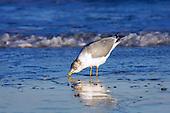 Birds Gulls, Terns and Shorebirds