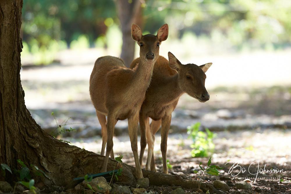 Timor deer, aka Javan Rusa aka Sunda Sambar (Rusa timorensis).<br /> The Timor deer is the preferred prey for the huge endemic Komodo dragon (Varanus komodoensis).<br /> Komodo, Indonesia.<br /> July 2011.