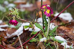 © Licensed to London News Pictures . 21/01/2013 . Manchester , UK . Early blooms poking through fresh snow in Salford . Snowy scenes in Salford , Greater Manchester today (21st January 2013) . Photo credit : Joel Goodman/LNP