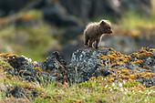 Arctic fox 2