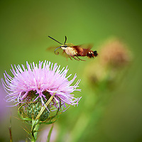 Clearwing Hummingbird Moth on Thistle Bloom. Sourland Mountain Preserve, Summer Nature in New Jersey. Image taken with a Nikon D3s and 300 mm f/2.8 VR lens + TC-E III 20 teleconverter (ISO 280, 600 mm, f/8, 1/500 sec). Raw image processed with Capture One Pro 6, Nik Define, and Photoshop CS5.