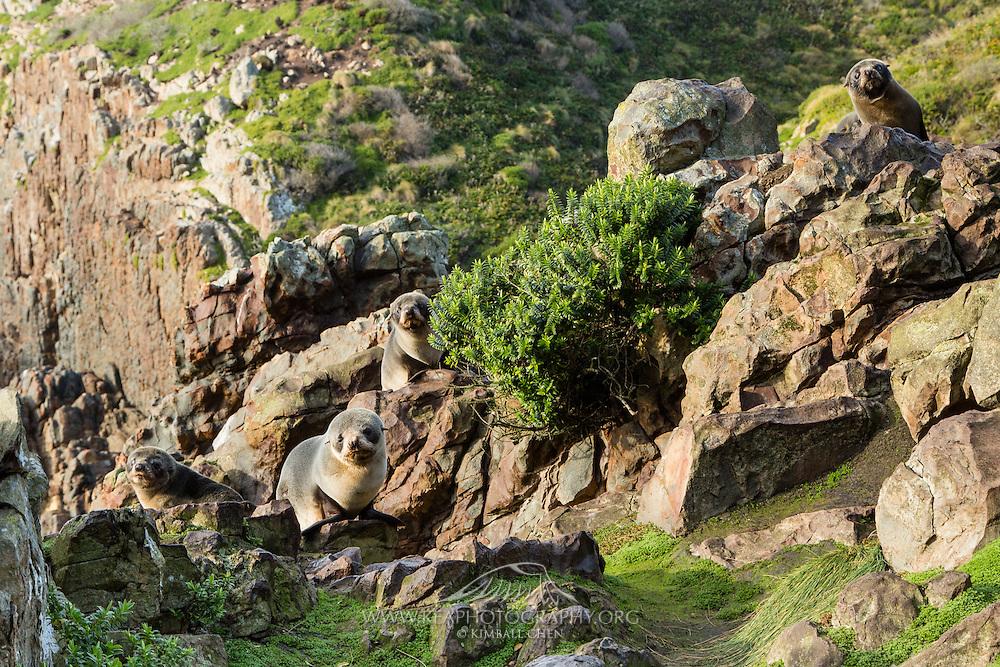 Four curious NZ fur seal pups along the Catlins, New Zealand