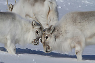 Svalbard reindeer (Rangifer tarandus platyrhynchus) yearling play ruts with adult female in the snows of April near Longyearbyen, Spitsbergen island, Svalbard.