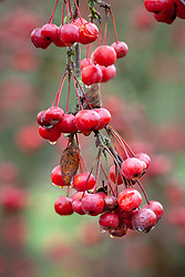 The berries of Malus hupehensis - Hupeh crab apple -syn. Malus theifera, Pyrus malus theifera