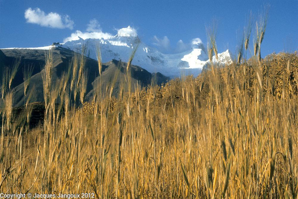 Peru, Andes Montain Range - Cordillera de los Andes, Cordillera Blanca mountain range, wheat field, mount Huandoy in background.