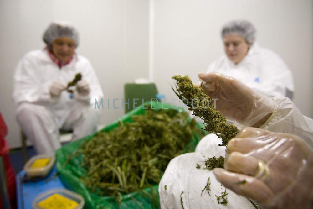 The processing of cannabis after drying at Bedrocan on February 14, 2007 in Veendam, The Netherlands. Since March 2005 Bedrocan BV is the only company contracted by the Dutch Ministry of Health for the growth and production of medicinal Cannabis. This medicinal Cannabis can be prescribed by doctors for both humans and animals. Cannabis is most famous for its use as a recreational soft drug. It?s available at ?coffeeshops? throughout the Netherlands. Coffeeshops purchase their products from illegal growers or grow it illegally themselves. The Netherlands have no laws or legal procedures that allow for the legal growth or use of recreational Cannabis. The fact that it is allowed to exist has to do with the Dutch tolerance policy, by which the possession of small amounts of Cannabis is not actively prosecuted. .Cannabis is less well known for its medicinal use. But medicinal Cannabis has been available on a doctors prescription in the Netherlands since September 2003. The growth of Cannabis for medicinal use has been legally permitted since 17 march 2003.