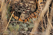 A Gophersnake (Pituophis catenifer), along forest road 92, sits under bushes in the grasslands of the foothills of the Santa Rita Mountains, Sonoita, Arizona, USA.