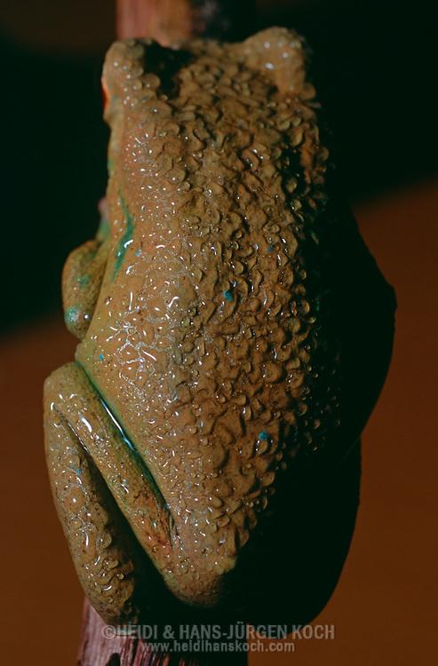 DEU, Deutschland: Bolivianischer Greiffrosch (Phyllomedusa boliviana) sitzt an einem Ast, Wassertropfen perlen von seiner Haut ab, er fettet seine Haut mit einer Drüsenflüssigkeit ein, Froschart lebt in trockenen Gebieten und verhindert damit zu starke Austrocknung, Herkunft: Bolivien | DEU, Germany: Red-rimmed Leaf Frog (Phyllomedusa boliviana), sitting on limb, waterdrops rolling of his skin, lubricating his skin with waxy secretion that reduces the evaporative water loss of their bodies, habitat: dry areas, origin: Bolivia |