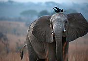 Afdrican Elephant (Loxodonta africana) with piapiacs (Ptilostomus afer) on its head. From Murchinson's Falls, Uganda.