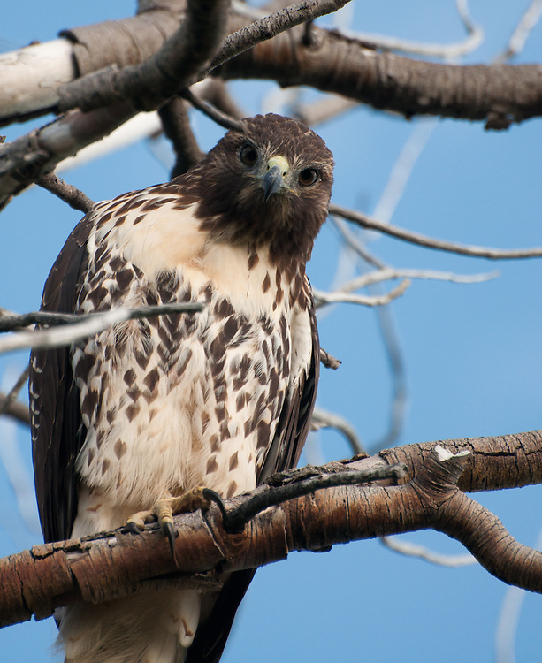 Immature Red-Tailed Hawk (Buteo jamaicensis) on Steens Mountain, southeastern Oregon.