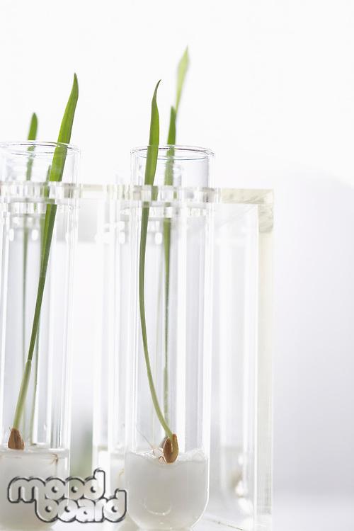 Seedlings growing in test tubes