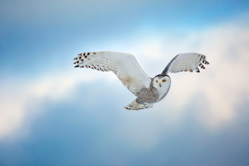 A snowy owl hovers in the air, Quebec, Canada.