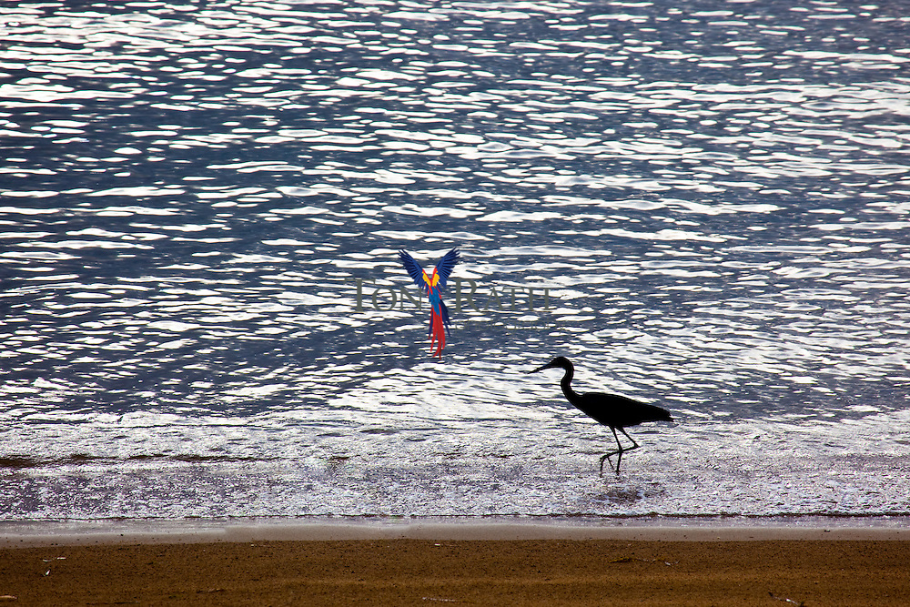 Heron feeding on shore line, Dangriga, Belize