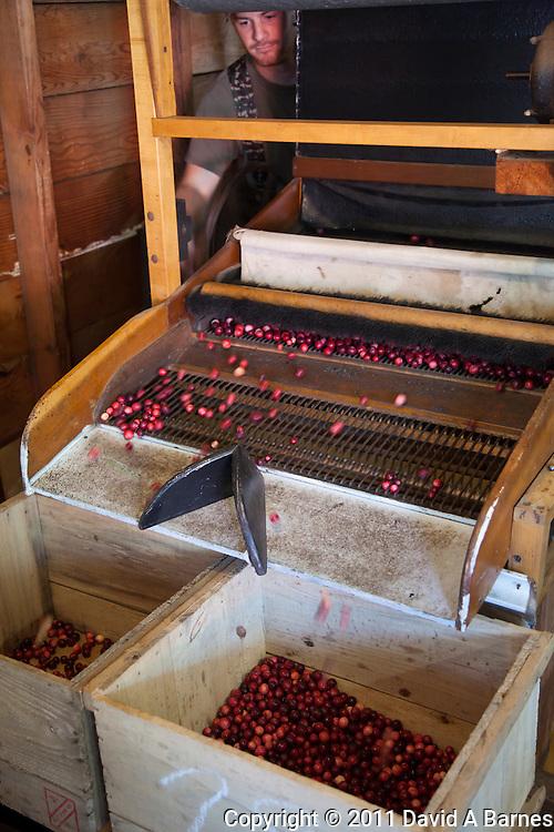 Sortting cranberries cranberries