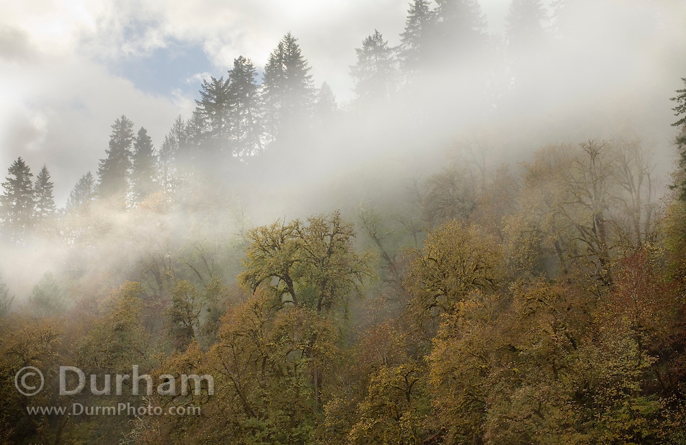 Mist and trees in The Siuslaw National Forest, Orego,