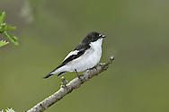 Pied Flycatcher - Ficedula hypoleuca - Male. L 12-13cm. Well-marked bird with precise habitat requirements. Forages in tree canopy. Sexes are dissimilar. Adult male in summer has black upperparts, white underparts and bold white band on otherwise black wings; note small white patch at base of bill. All other birds (including autumn adult male) are similarly patterned but black elements of plumage are replaced by brown. Voice Utters a sharp tik alarm call. Song is sweet and ringing. Status Locally fairly common summer visitor, mainly to Sessile Oak woodland; most numerous in Devon, Wales and Lake District.