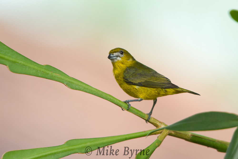 Orange-bellied Euphonia (Euphonia xanthogaster) perched in a tree at Jardim de Amazonia (Mato Grosso, Brazil)