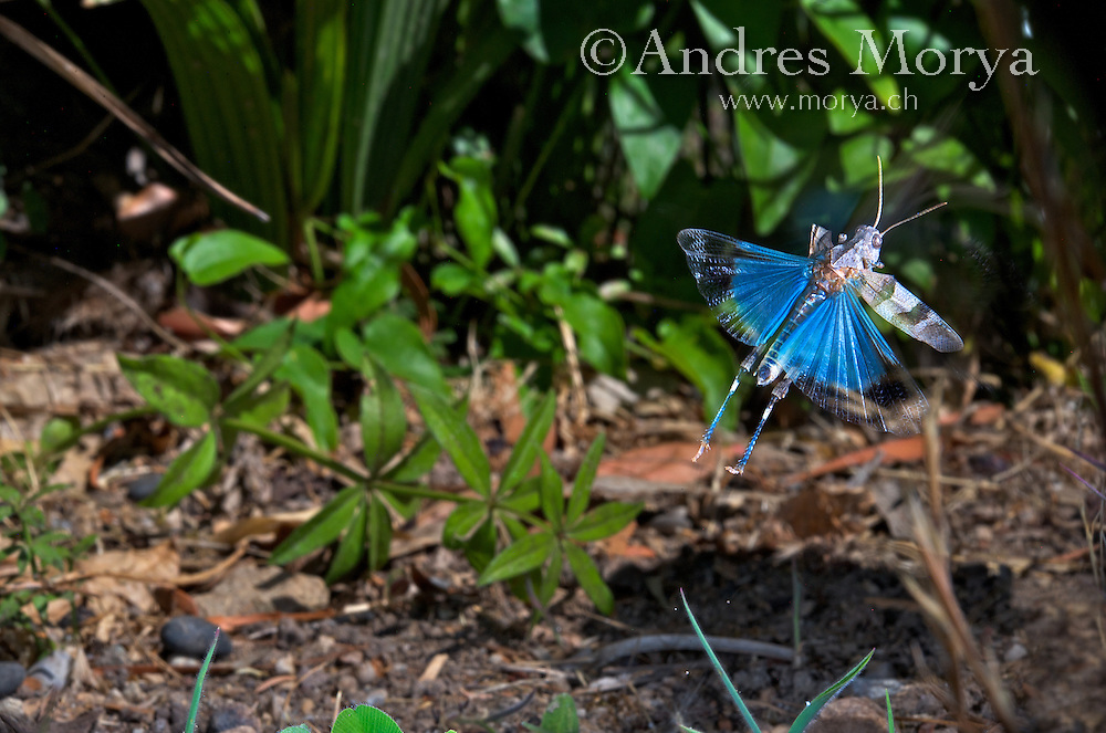 Blue-winged Grasshopper flying (Oedipoda caerulescens). Insects in flight, high speed photographic technique, flying, wings, motion, insect Image by Andres Morya