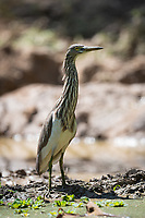 The Chinese pond heron (Ardeola bacchus) is an East Asian freshwater bird of the heron family, (Ardeidae).