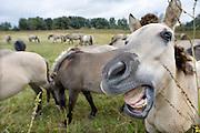 Nederland, Ooij, 18-9-2012Konikpaarden in de Ooijpolder, Millingerwaard. Ze zitten onder de klitten. Distels. De Konik leeft in kuddeverband. De wilde paarden zijn uitgezet in natuurgebieden door heel Nederland en doen het goed. Soms worden ze uitgezet in Oost-europa.Foto: Flip Franssen/Hollandse Hoogte