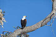 African Fish Eagle perched in tree, Savuti Channel.