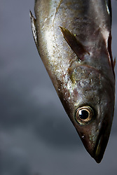 Close up of a Pollack fish
