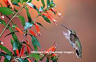 01162-093.09 Ruby-throated Hummingbird (Archilochus colubris) female at Cigar Plant (Cuphea ignea)  Shelby Co. IL