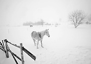 """Skye"" a mostly white horse stands in a new blanket of snow Wednesday along Pleasant Vallay Road in the Town of Cedarburg."